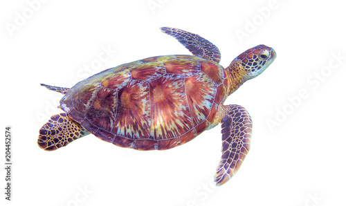 Sea turtle on white background. Marine tortoise isolated. Green turtle photo clipart.