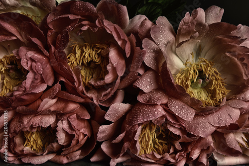 Peony flowers dark photo vintage hipster style. lush buds in drops. Velvet artistic photo
