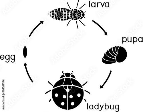 Fototapeta premium Cykl życia biedronki. Sekwencja etapów rozwoju biedronki od jaja do dorosłego owada
