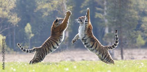 Fototapeta premium 2 tygrysy skaczą