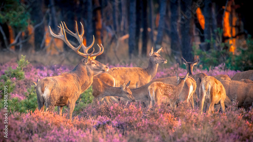 Group of red deer in heathland