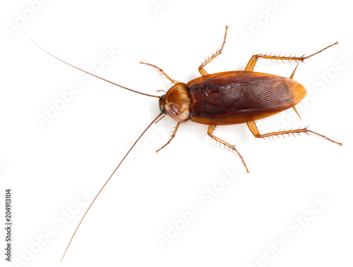 View from above of American cockroach.