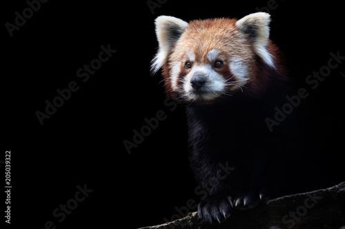 Fotografia Portrait of a red panda (Ailurus fulgens) isolated on black background