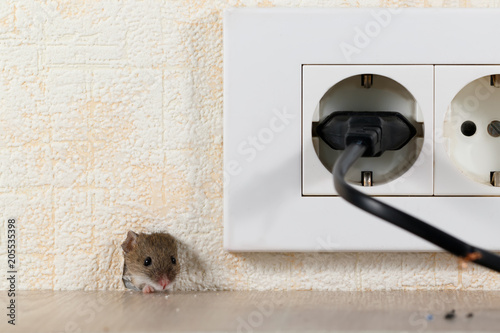 closeup mouse (Mus musculus)  peeps out of a hole in the wall with electric outlet. Mice control concept. Extermination..