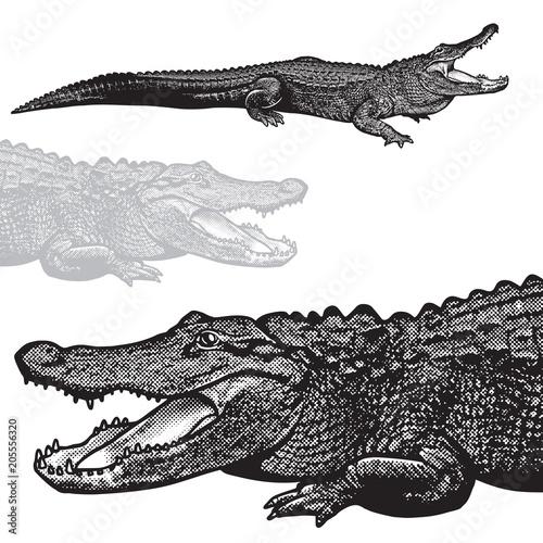 Fototapeta premium Aligator amerykański (Alligator mississippiensis) - grafika wektorowa. Czarny obraz gada krokodyla w stylu grawerowania na białym tle, element projektu logo lub szablonu.