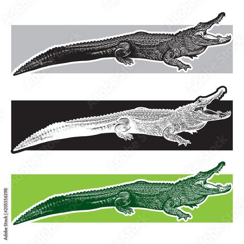 Fototapeta premium Aligator amerykański. Aligatory z Florydy. Graficzna ilustracja wektorowa monochromatyczna gada - rysowana grafika w stylu grawerowania, element projektu logo lub szablonu.