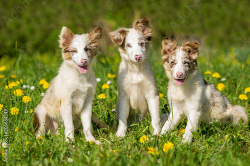Fotomural Three Border Collie puppies sitting in a flower meadow
