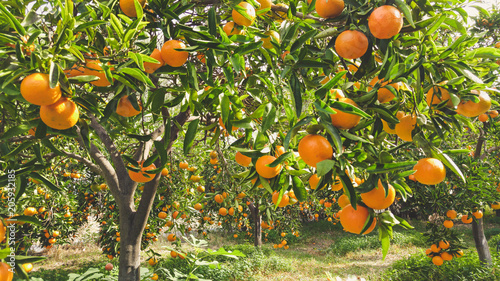 Tangerine sunny garden with green leaves and ripe fruits. Mandarin orchard with ripening citrus fruits. Natural outdoor food background