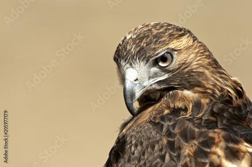 Valokuvatapetti Red Tailed Hawk Portrait