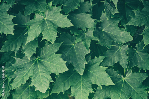 Green maple leaves on a tree branch