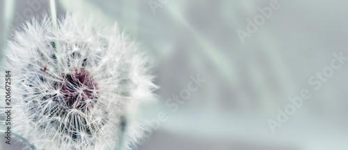 Dandelion close up on natural background. Dandelion flower on summer meadow