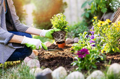 gardener planting flowers in garden bed