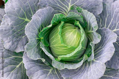 Carta da parati cabbage vegetable at fresh in the garden