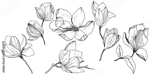 Fotografie, Obraz Magnolia in a vector style isolated