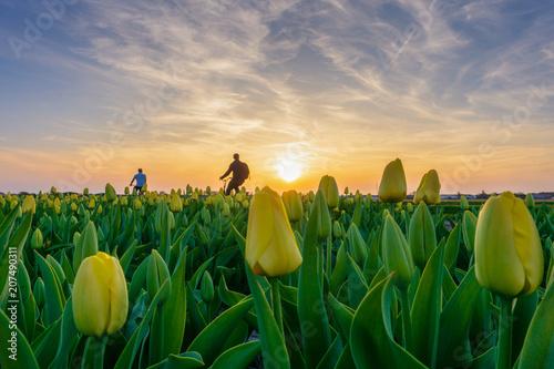 Naklejki na meble Turysta w rowerowej przejażdżce wzdłuż tulipanowych pól w Amsterdamie
