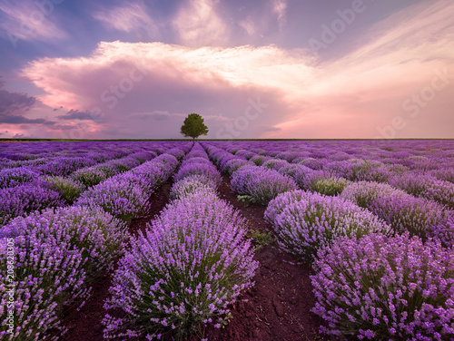 landscape-of-lavender-field-and-lonely-tree