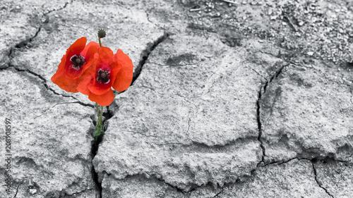 Fotografia Red poppy blooms in a dried field