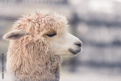 Canvas Print Cute and funny Alpaca in farm, friendly animal.