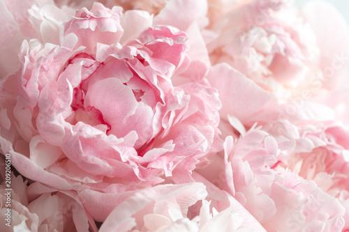 Carta da parati Fluffy pink peonies flowers background