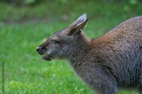 Fotografia, Obraz bennett känguru