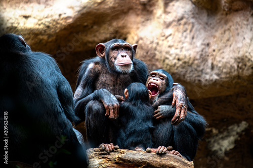Valokuvatapetti A chimpanzee family on their favorite place of family cohesion is very important to them