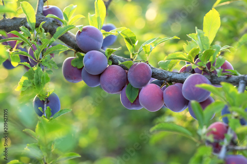 Closeup of branch with ripe plums in garden