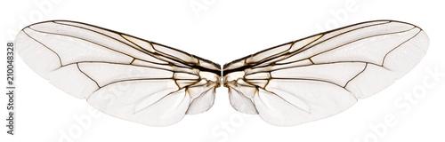 Wings flesh fly - Sarcophagidae