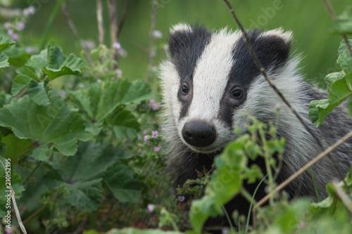 portrait of wild badger Fototapet