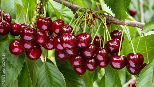 Great harvest of ripe red cherries on a tree branch. Selective focus.