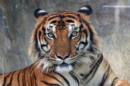 Obraz na plátne Angry tiger,Sumatran tiger (Panthera tigris sumatrae) beautiful animal and his p