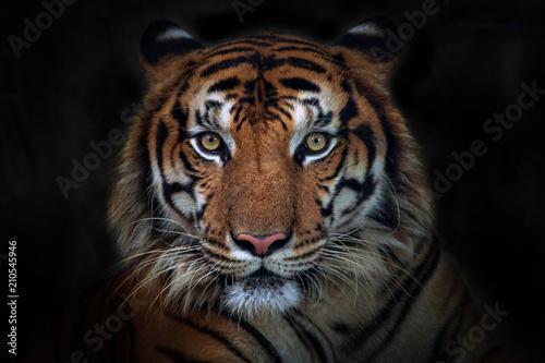 Wściekły tygrys, sumatrzański tygrys (Panthera tigris sumatrae) piękne zwierzę i jego portret