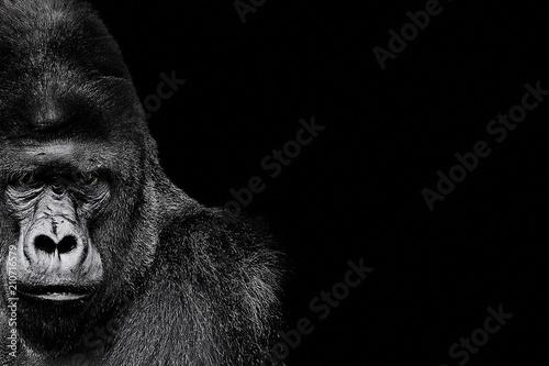 Fotografia Portrait of a Gorilla