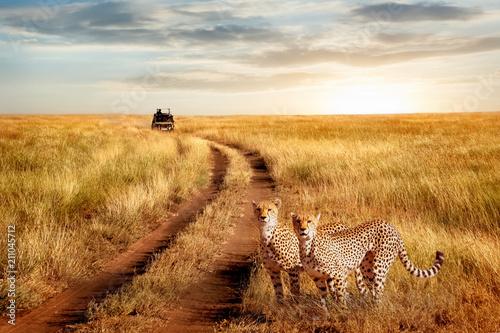 Grupa gepard w Serengeti parku narodowym na zmierzchu tle. Naturalny obraz przyrody. Afrykańskie safari.
