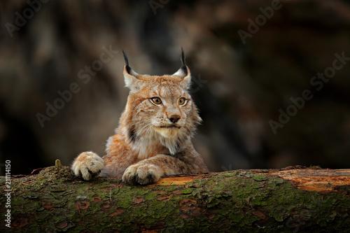 Fototapeta premium Ryś w zielonym lesie z pniem drzewa. Scena dzikiej przyrody z natury. Zabawa w rysia, zachowanie zwierząt w środowisku. Dziki kot z Niemiec. Dziki Bobcat między drzewami.