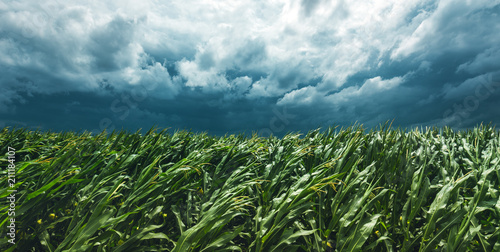 Corn field and stormy sky Fototapeta