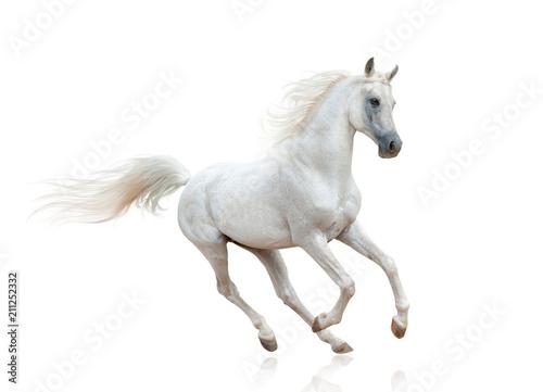 Snow white arabian stallion isolated