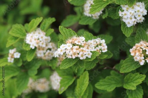 Fototapeta Geranium eriostemon var. reinii in Ibuki mountain, Japan