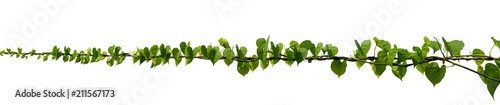 Fotografia vine plant climbing isolated on white background. Clipping path
