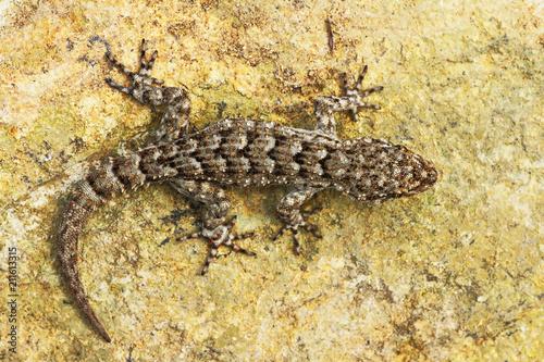 Mediodactylus kotschyi, full length