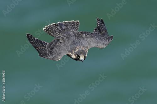 Obraz na plátně Peregrine falcon in its natural habitat in Denmark