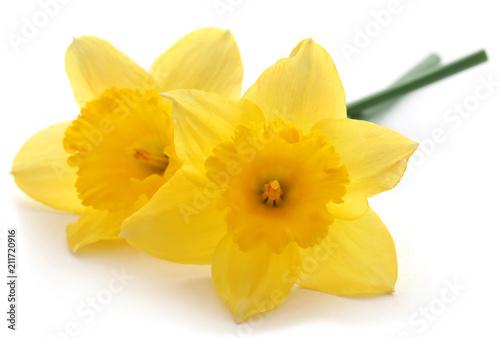 Flower daffodil Fototapet