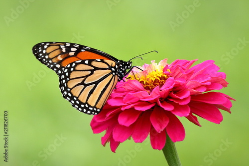 A gorgeous Monarch Butterfly feeds on a bright pink heirloom zinnia flower in my garden.
