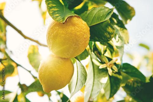 Fototapeta Lemon. Ripe Lemons hanging on tree. Growing Lemon