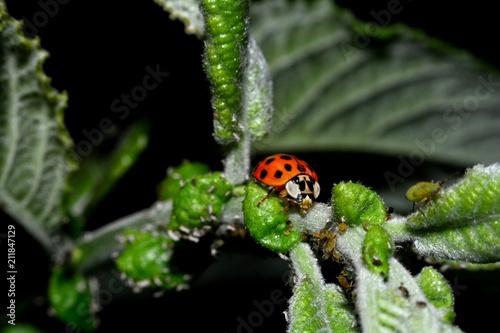 Marienkäfer auf grünem Blatt mit vielen Blattläusen und dunklem Hintergrund
