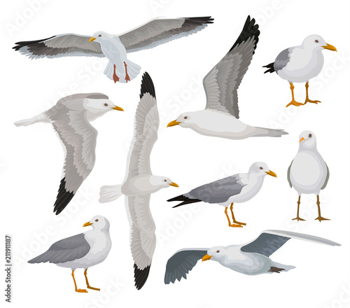 Photo Beautiful seagull set, gray and white sea bird in different poses vector Illustr