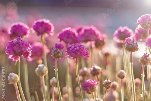 różowe kwiaty w świetle delikatnych promieni słonecznych