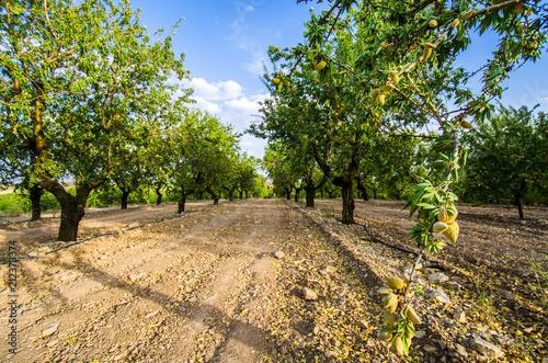 Long alley of almond trees in orchard lit by warm golden sunlight Fototapeta