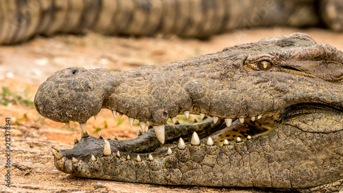 Close up of a crocodiles mouth and teeth.