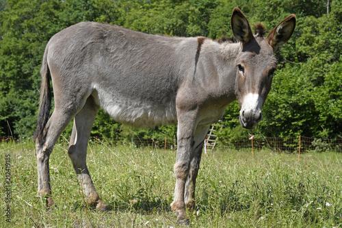 Hausesel (Equus asinus asinus) beweidet eine Naturschuttzfläche - Donkey