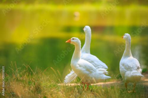 Obraz na płótnie Three white geese family walking near the pond